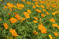 Free Field With Orange Flowers Stock Image - 5392871