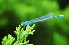 Free Blue Damselfly Royalty Free Stock Images - 5390149