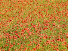 Free Poppy Field Royalty Free Stock Photos - 5391018