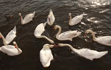 Free Hungry Swans Stock Photos - 5391293