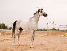 Free Arab Horse Royalty Free Stock Images - 5391479