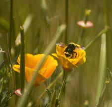 Free Golden Poppy Bee Stock Photography - 5392342