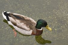 Free Mallard Duck Royalty Free Stock Image - 5392346
