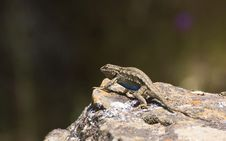 Free Lizard On Rock Stock Photos - 5392363
