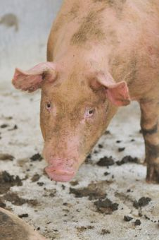 Free Pig Farming Series 1 Royalty Free Stock Photos - 5392578