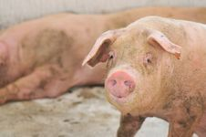 Free Pig Farming Series 3 Stock Photography - 5392582
