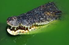 Free Crocodile Swimming Stock Photography - 5392952