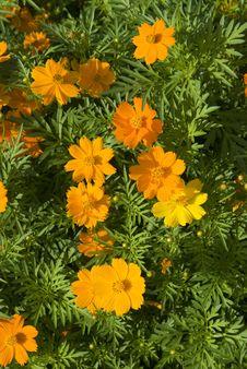 Free Orange And Yellow Flowers Royalty Free Stock Image - 5393006