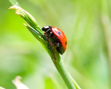 Ladybird On Blade Royalty Free Stock Photos