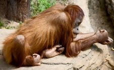 Free Orangutan 10 Royalty Free Stock Photography - 5393977
