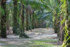 Free Oil Palm Estate Series 6 Stock Photography - 5394172