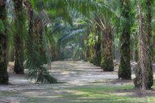 Free Oil Palm Estate Series 7 Royalty Free Stock Photos - 5394188
