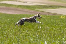Free Whippet Hunting Royalty Free Stock Photography - 5394597