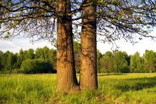 Free Two Oaks On The Meadow Stock Photography - 5394762
