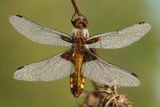 Free Dragonfly Libellula Depressa Stock Photo - 5395610