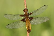 Free Dragonfly Libellula Depressa Royalty Free Stock Photos - 5395638