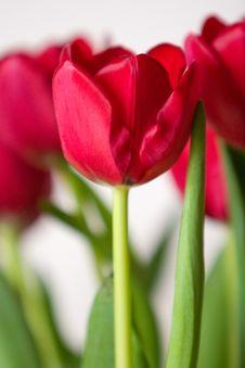Free Crimson Tulips Stock Photography - 5395732