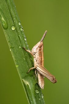 Free Closeup Of Locust With Dew Royalty Free Stock Photo - 5395965