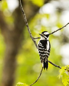 Free Downy Woodpecker Royalty Free Stock Image - 5396896