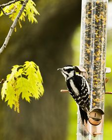 Free Downy Woodpecker At Feeder Royalty Free Stock Photo - 5396935