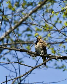 Free Northern Flicker 2 Royalty Free Stock Photos - 5396938