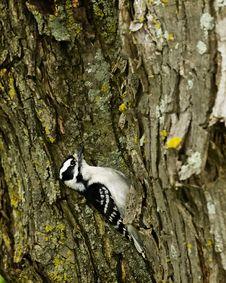 Free Woodpecker Royalty Free Stock Photos - 5396958