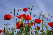 Free Poppy On Background Sky Stock Photography - 5397942