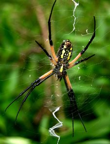 Black And Yellow Argiope Spider Royalty Free Stock Photo
