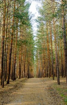 Footpath In Pine Forest Royalty Free Stock Photos