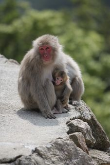 Wild Breastfeeding Monkey, Miyajima, Japan. Royalty Free Stock Photo