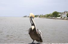 Free Pelican Looking Royalty Free Stock Photography - 5399877