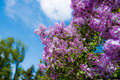 Free Lilac Royalty Free Stock Photo - 53948195