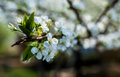 Free Cherry Blossoms Royalty Free Stock Photography - 53954687