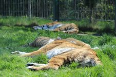 Free Sleeping Tigers Royalty Free Stock Photo - 53997895