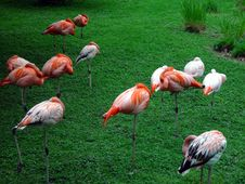 Free Pink Flamingos At Rest Royalty Free Stock Photo - 540265