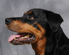 Free Rotty2 Royalty Free Stock Images - 540479