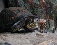 Free Turtle 4 Royalty Free Stock Photography - 540657