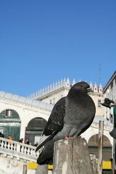 Free Venetian Pigeon Stock Photos - 540703