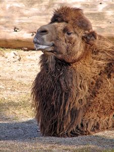 Free Camel Stock Image - 541371