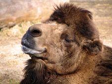 Free Camel Stock Photos - 541373