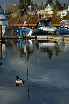 Free Duck At Marina Stock Photo - 541550