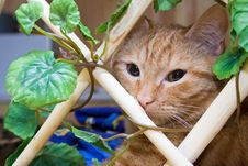 Redhead Cat Stock Image