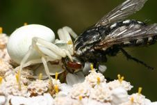 Free Crab Spider Stock Photography - 543332