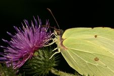 Free Brimstone Butterfly Royalty Free Stock Image - 543336