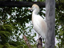 Free Great Egret Stock Photos - 544353