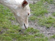 Free Albino Fallow Deer Royalty Free Stock Photos - 544358