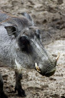 Free Animal - Warthog ( Phacochperus Africanus) Royalty Free Stock Photos - 544778
