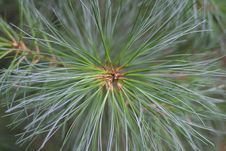 Free Pine Bough Royalty Free Stock Images - 545589