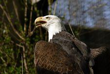 Free Bald Eagle Stock Photo - 545710