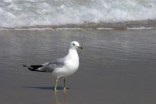 Free Surf Gull Stock Photos - 545713